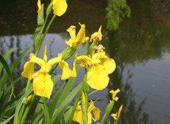 1. Category 1a-Yellow flag (Iris pseudacorus){Lukas Otto} copy