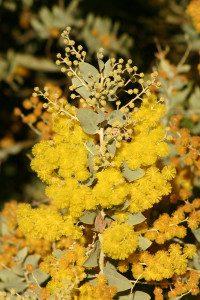 10b. Acacia podalyriifolia (LO) 0079