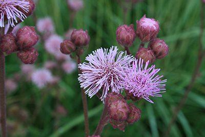 1a. Flower. Pompom (Campuloclinium macrocephalum) {LO} copy