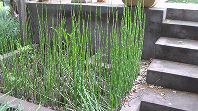 2. Category 1a-Snake Grass (Equisetum hyemale) (Lukas Otto} copy