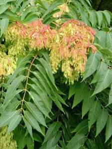 3b. Ailanthus altissima (1)