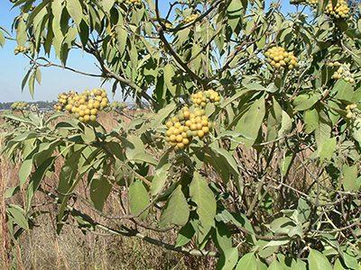 5b. Bugweed (Solanum mauritianum) LO copy