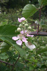 6. Category 2-European blackberry (Rubus fruticosus) {Lukas Otto} copy