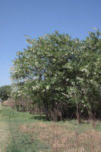 6a. Robinia pseudoacacia (LO) _6414