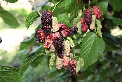 7. Cotagery 3-Common Mulberry (Morus alba) {Lukas Otto} copy