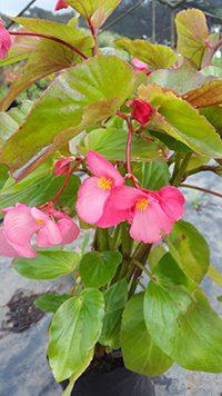 Begonia-Dragon-Wing