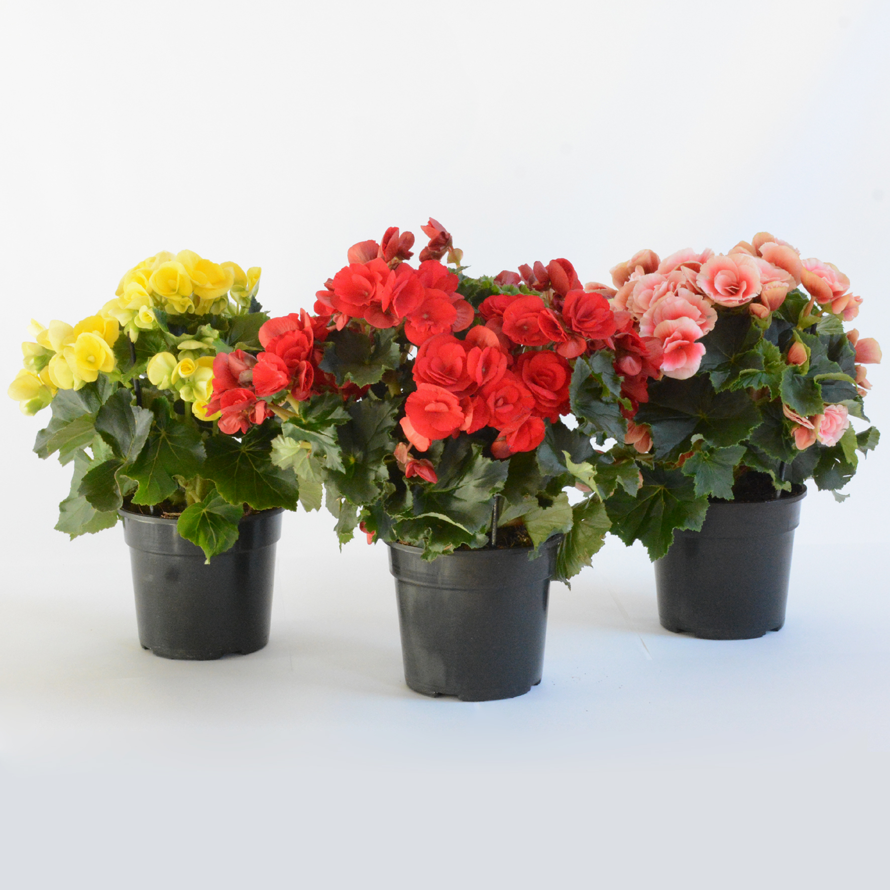 Begonia may indoor plant life is a garden for Begonie immagini