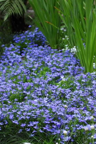March Lobelia In Shades Of White Lilac And Blue Life Is A Garden
