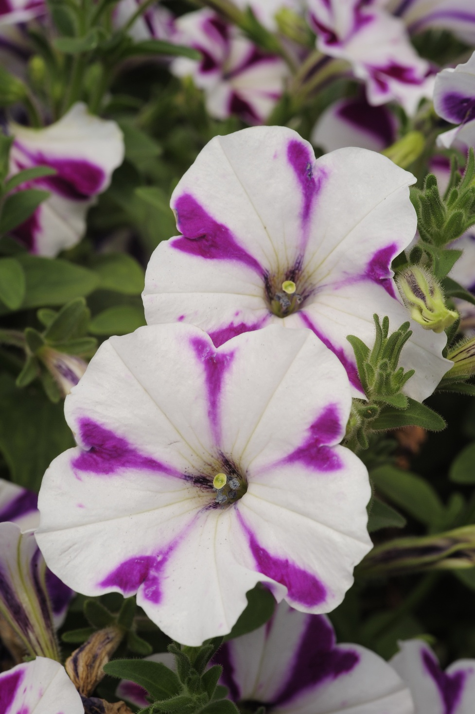 Ampel petunia is one of the popular types of garden flowers 37
