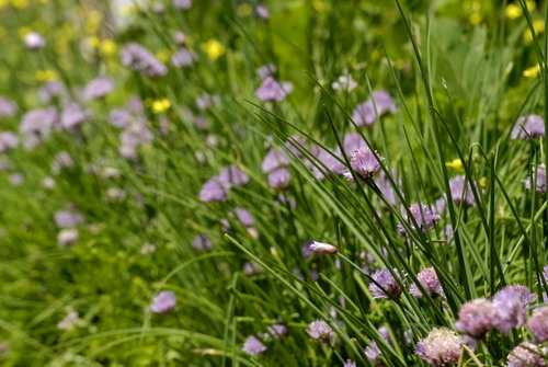 Chives4186