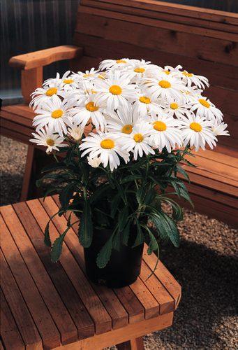 ChrysanthemumWhiteKnight
