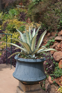 FS-agaves-pots