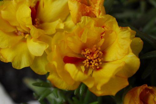 Grandiflora9840