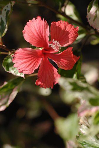 Hibiscus-rosa-sinensis-Snow-Queen-006