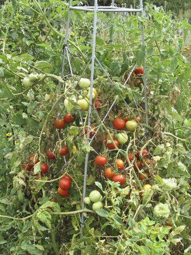 KZN-tomatoes