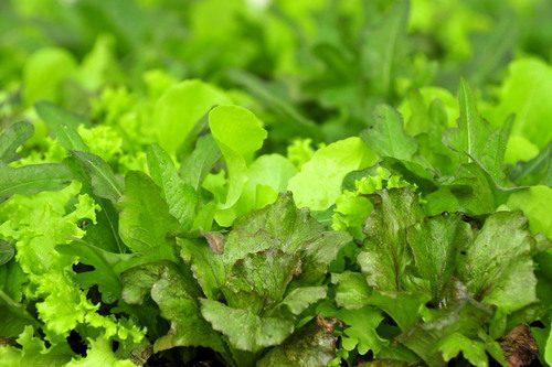Lettuce16533
