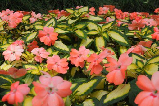New Guinea Impatiens Life Is A Garden