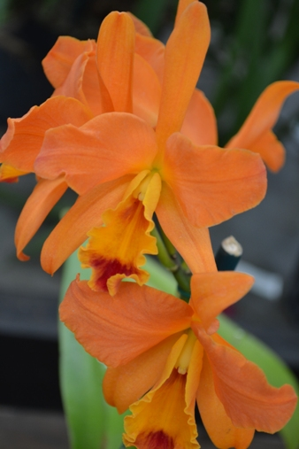 Orchid_various_LGC_(15)