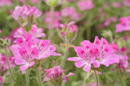 Pelargonium_scented_Clorinda
