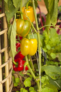 Peppers_3_lr