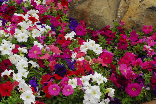 10 best bedding plants life is a garden pretty mightylinksfo