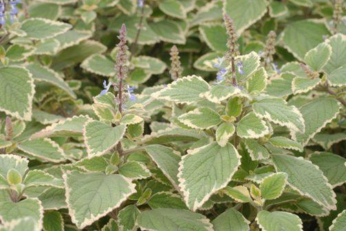 Plectranthus-BlueSpire