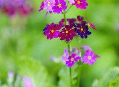 Primulamalacoides56114resize