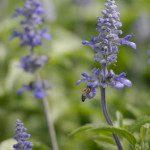 Salviafarinaceae4341
