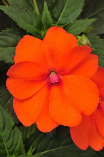 orange impatiens new guinea impatiens life is a garden