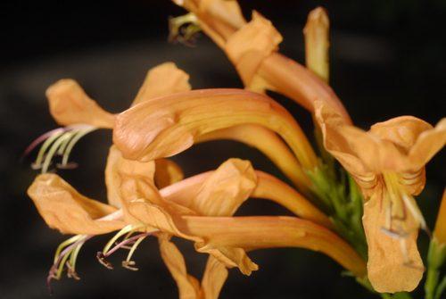 Pretty pieris podría ser el arbusto para usted | Vancouver Sun