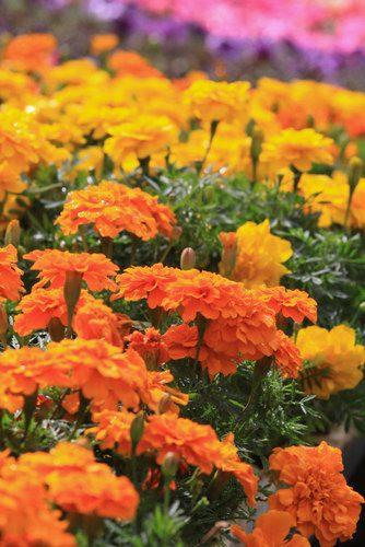 WC-marigolds