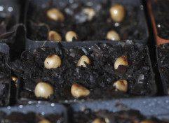 clivia seeds_2