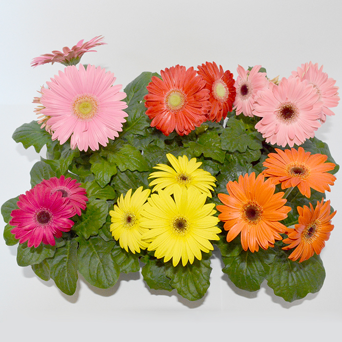 What Color Are Daisies Naturally