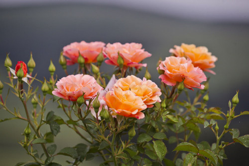 grow-perfect-roses
