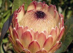 plant_proteas6