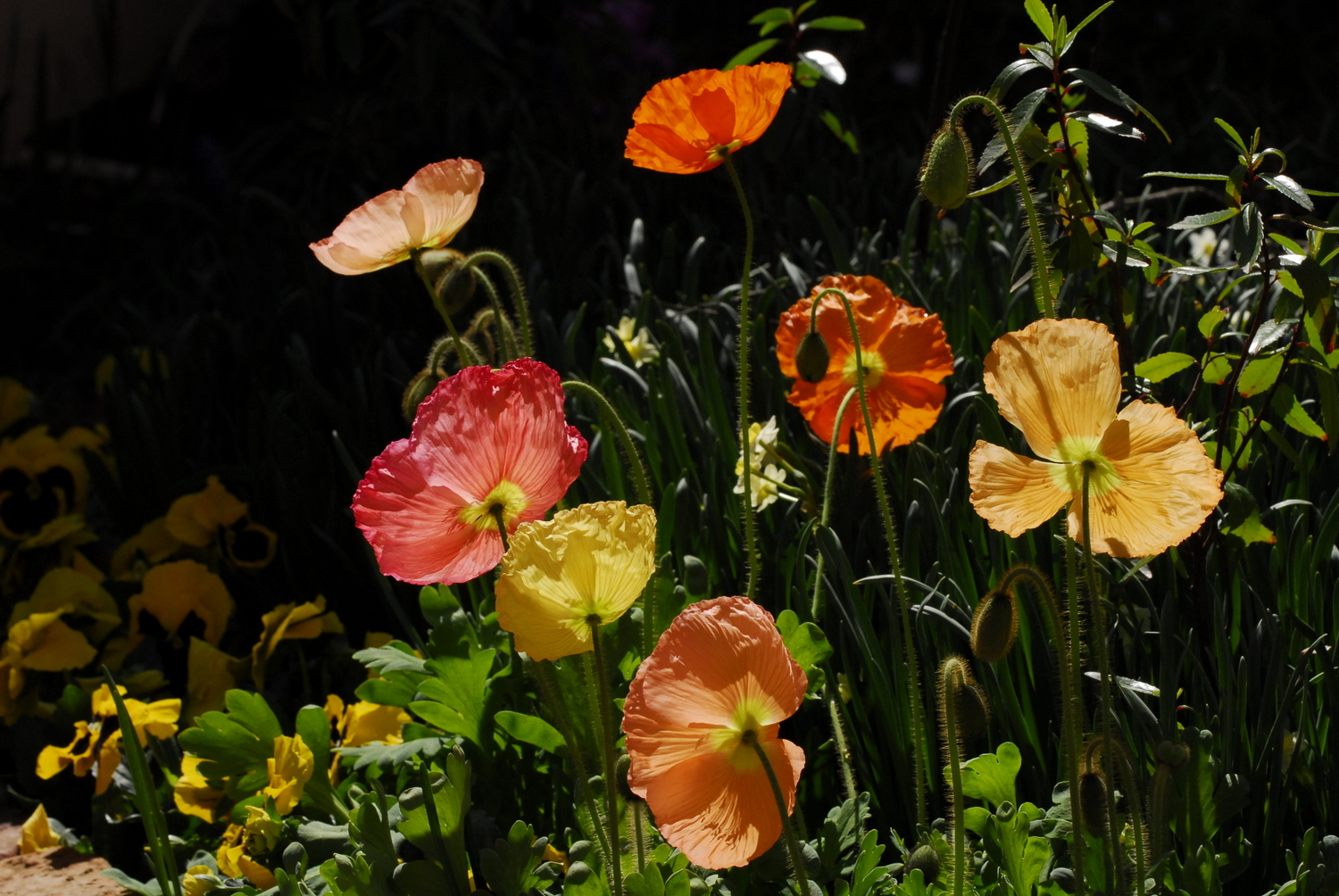 Poppies mays bedding plant life is a garden one of the most favoured poppies for modern day gardens are iceland poppies standing approximately 30cm high when fully grown and available in either mightylinksfo