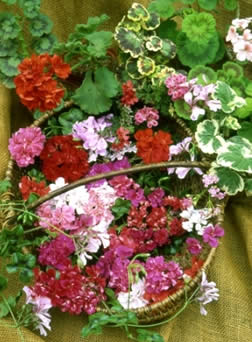 pretty_pelargoniums1
