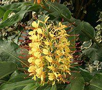1. Kahili ginger lily (Hedychium gardnerianum) Lukas Otto copy
