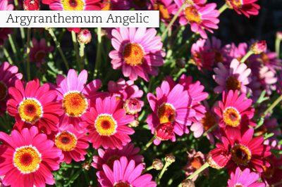 Argyranthemum_Angelic_lr_with_text