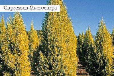 Cupressus_Macrocarpa_lr_with_text