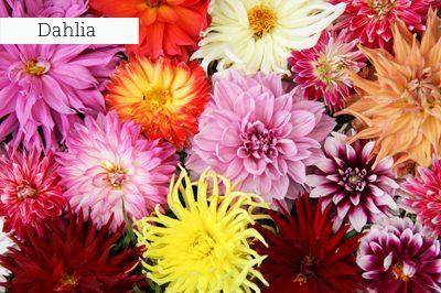 Dahlia_lr_with_text