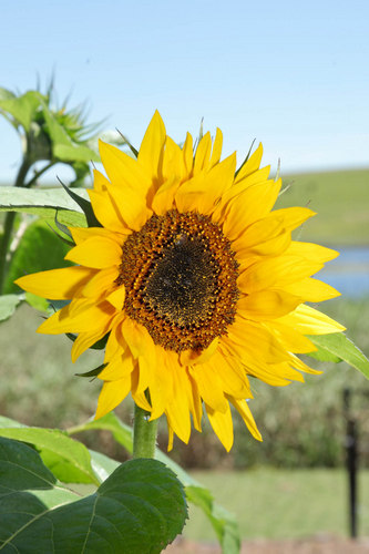 KZNsunflowers