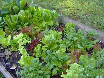 Lettuce_varieties_lr