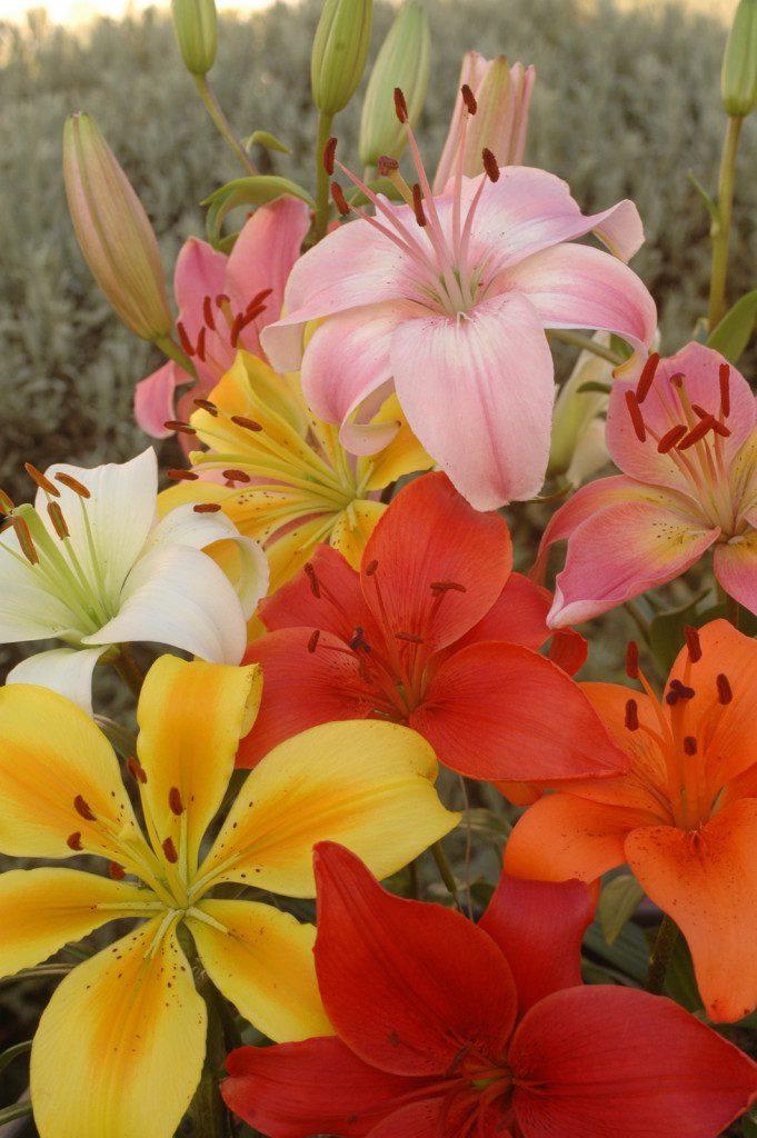 Lilium-Asiatic-Mixed(6)