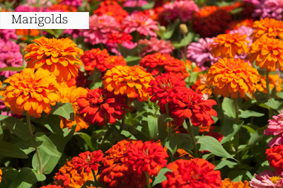 Marigolds_lr_with_text