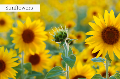 Sunflowers_lr_with_text
