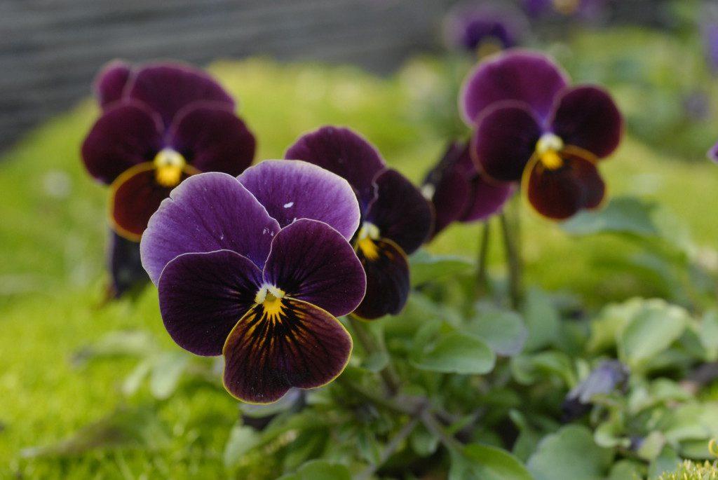 Viola (4)