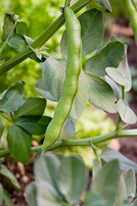 beans-broad132