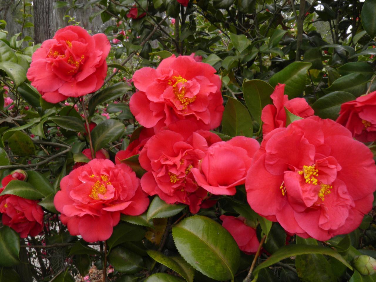 camelia japonica kramers supreme life is a garden. Black Bedroom Furniture Sets. Home Design Ideas