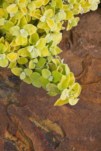 helichrysum-petiolare